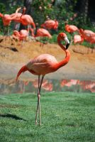 Flamingo 6 by SBG-CrewStock