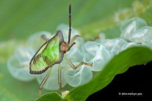 Giant stink bug babies by melvynyeo