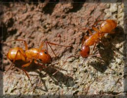 Ants 20D0048014 by Cristian-M