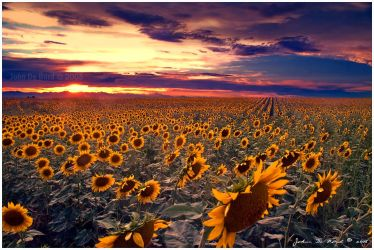 Sunflowers and Sunsets by kkart