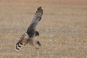 norther harrier female by griffspixs