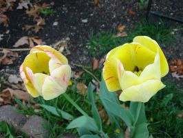 Yellow Tulips by Sunspot01