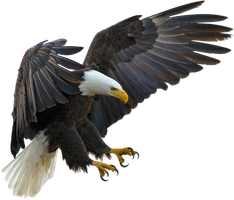 American eagle on a transparent background. by PRUSSIAART