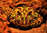 Ornate Horned Frog by AndySerrano