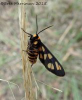 Tiger Moth by BreeSpawn