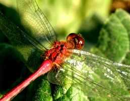 Dragonfly by distracted-ice-cube