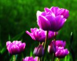 Purple Tulips by DeTea