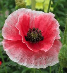 CORAL ORIENTAL POPPY by 1arcticfox