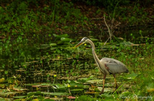 The heron that owns the pond by LonelyPhotography