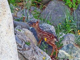 Young Fawn Climbing A Mountain by wolfwings1