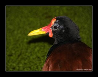 Wattled Jacana by Sikaris