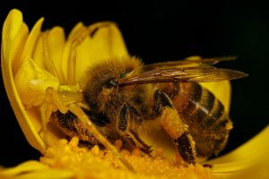 Crab Spider 1 Honeybee 0 by dalantech