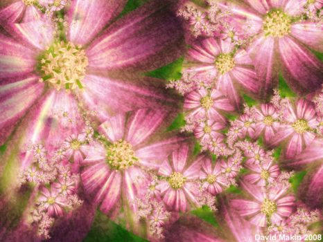 Pink Asters by MakinMagic
