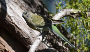 Red-Rumped Parrot [female] 2191 by DPasschier