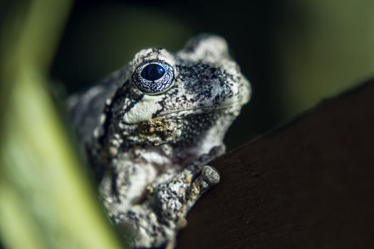 Gray Tree Frog by ViridianRoses