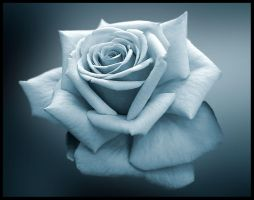 the simple rose by ssilence