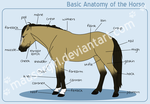 Basic Anatomy of the Horse by MauserGirl