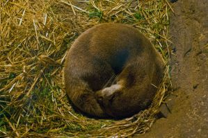 Ring of bright water or otter in this case by Steve-FraserUK