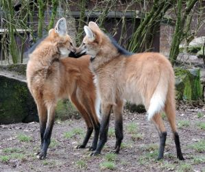 maned wolf love by Shippochan1000