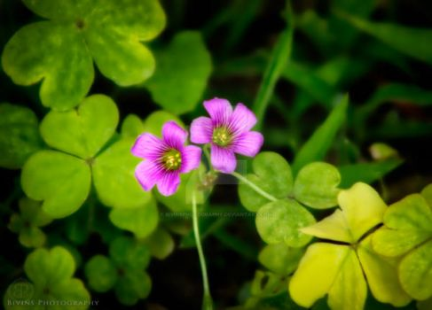 Purple Flowers Green Clovers by BivinsPhotography