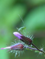 Cold Coloured Bush Cricket by tractern