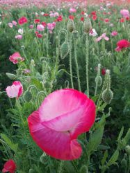 Poppies by andromeda