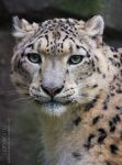 Snow Panther 8 _ Stock Image by sekhmet-stock