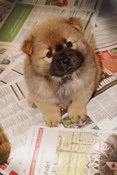 chow chow puppy by Gillander