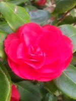 Hot pink rose #2 by Kagome1234545
