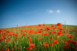 Poppy Field I by 2-m