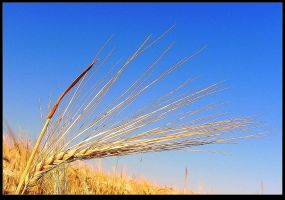 The Oats are ready for harvest. Macro by JocelyneR