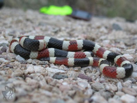 Herping - Sonoran Coral Snake by R-Eventide