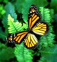 monarch butterfly by marob0501