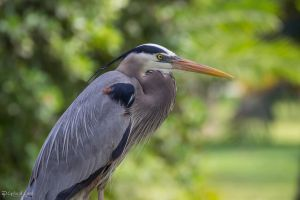 Great blue heron body profile by CyclicalCore