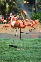 Flamingo 3 by SBG-CrewStock