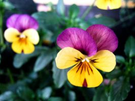 Yellow Pansies by Sing-Down-The-Moon