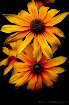 Sunflower by Muov