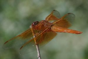 Flame Skimmer 2 by PatGoltz