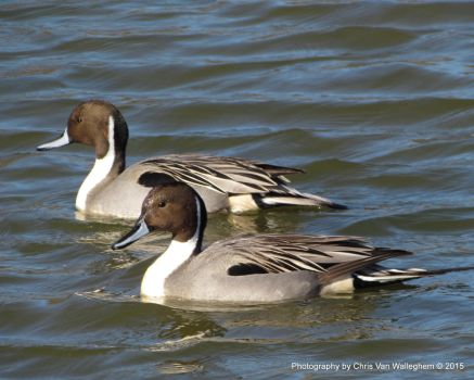 Dual Pintails by eaglesdarephoto