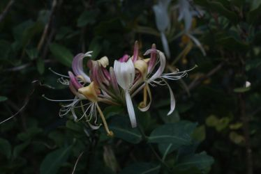 Lonicera by langeboom