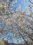 Blossoms in the Sky by Slicenndice