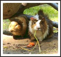 guineapigs by excitement-catcher