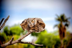 Great Horned Owl by malevisionstudio