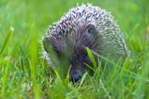 European Hedgehog by vertiser