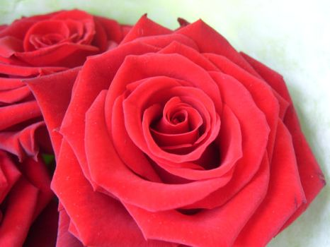 Rose Series 6 by Stephy--Stock