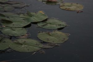 Lily Pad stock. by xe-stock