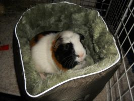 Guinea Pig Maxin Relaxin by pomchillasitems