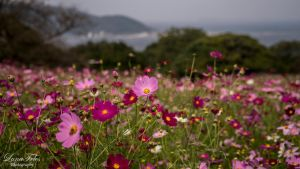 Cosmos flowers at Nokoshima Island by LunaFeles