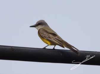 Tropical Kingbird by SilverMoon-Archer
