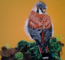 Coy Look - American Kestrel or Common Sparrow by Jessanmartin